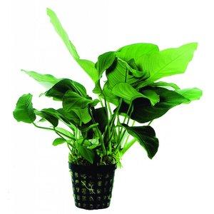 Waterplant Anubias Barteri Var.Nana