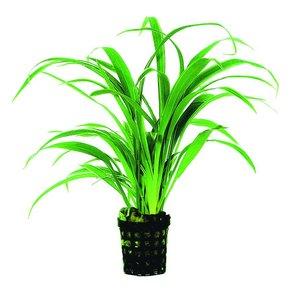 Waterplant Chlorophytum Bichettii 5cm Pot