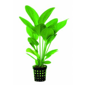 Waterplant Echinodorus Harbii 5cm Pot