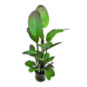 Waterplant Echinodorus Ozelot Rood 5cm Pot