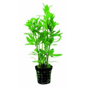 Waterplant Hygrophila Polysperma 5cm Pot