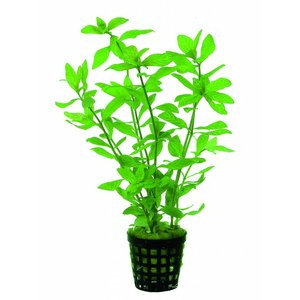 Waterplant Hygrophila Rosae Australis