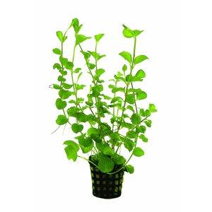 Waterplant Lysimachia Nummularia Aurea 5cm Pot