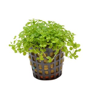 Waterplant Micranthemum Monte Carlo 5cm Pot