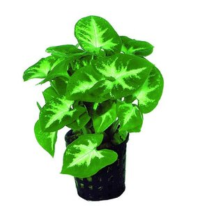 Waterplant Syngonium Pixii