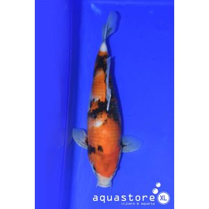 AquastoreXL Koi Showa 3