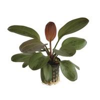Waterplant Echinodorus Hadi Red Pearl