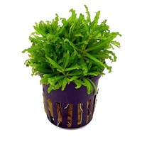 Waterplant Pogostemon Helferi 5 cm pot