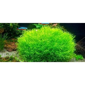 Waterplant Easy grow Riccia Fluitans (nr 9)
