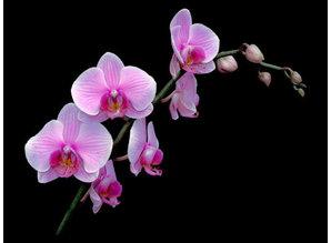 Waxmelt Winter Orchid 15 gram