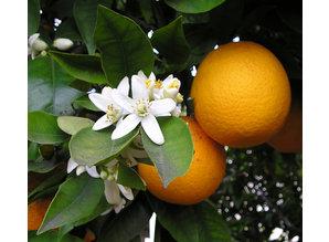 Geurolie Fresh Orange 20 ml - Zelf geurkaarsen - waxmelts maken