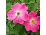 Geurolie Wild Rose 20 ml