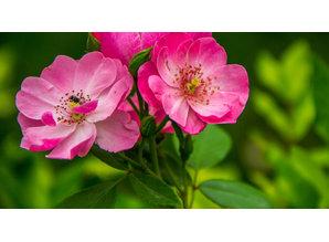 Geurolie Wild Rose 20 ml - Zelf geurkaarsen - waxmelts maken