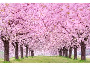 Geurolie Good Habits Sakura - Zelf geurkaarsen - waxmelts maken