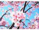 Geurolie Good Habits Sakura