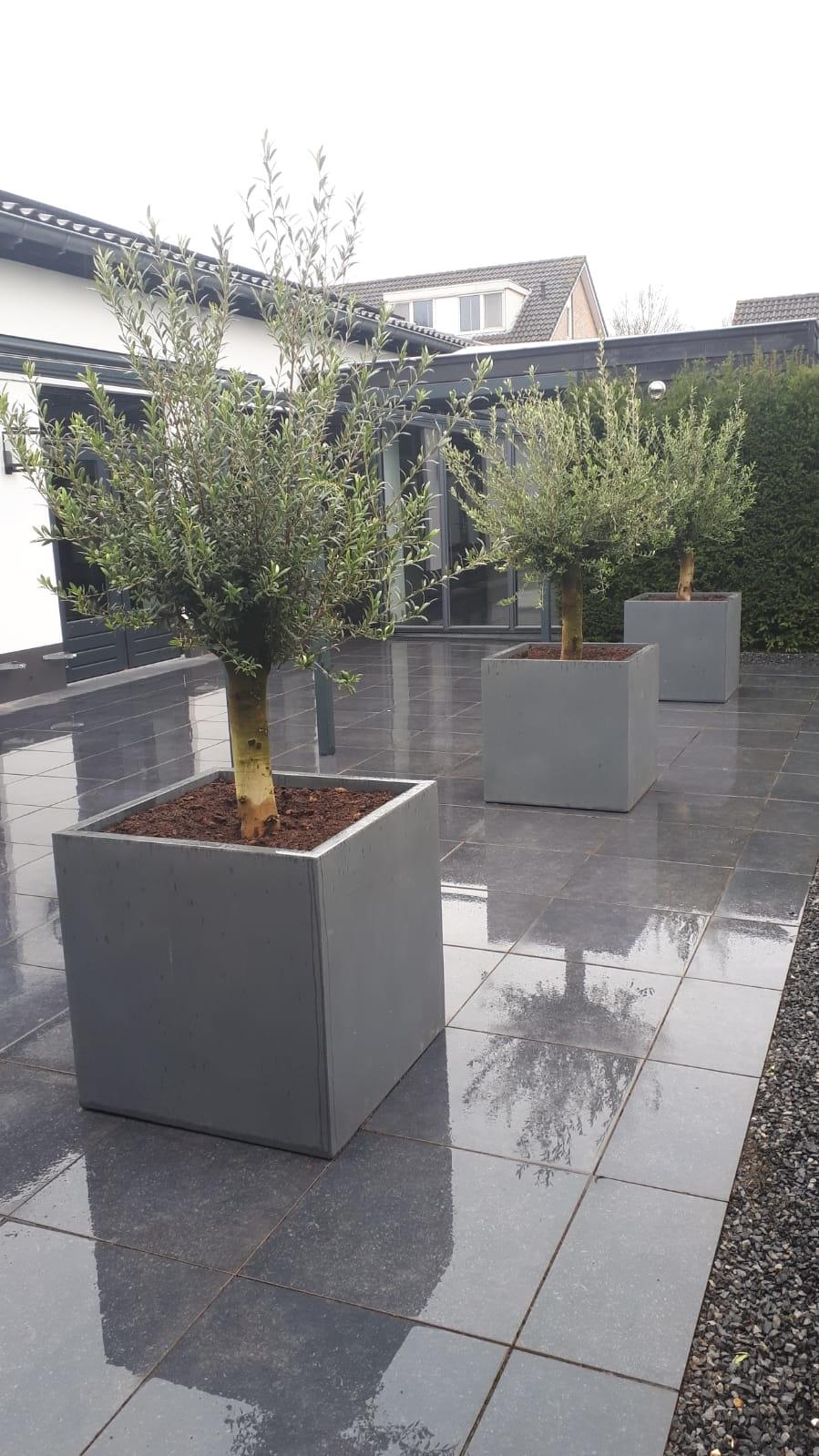 Plantenbak met olijfboom