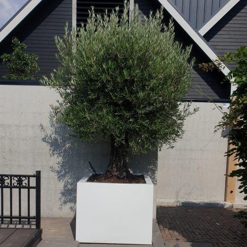 Plantenbak met olijfboom kopen? De antwoorden op de 5 meest gestelde vragen.