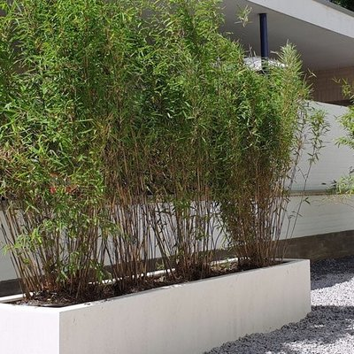 Bamboe in pot