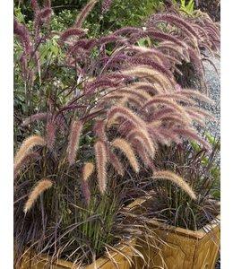 Lampenpoetsersgras (Pennisetum 'Rubrum')