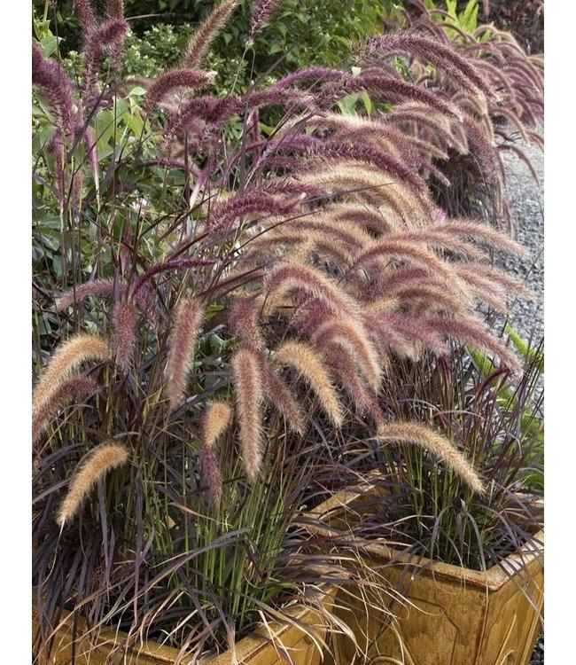 Lampenpoetsersgras (Pennisetum 'Rubrum') Potmaat C3