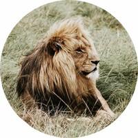 Glas schilderij rond Leeuw diameter 80cm