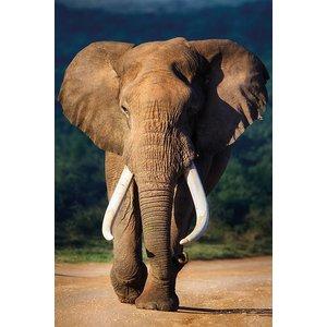 MondiArt Aluminium schilderij  Oude olifant   100x150cm
