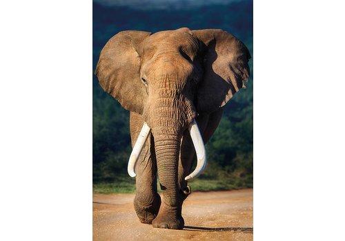 Aluminium schilderij  Oude olifant   100x150cm