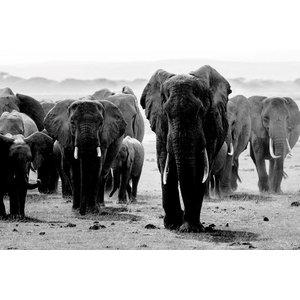 MondiArt Glas schilderij Grote Kudde olifanten 80x120cm