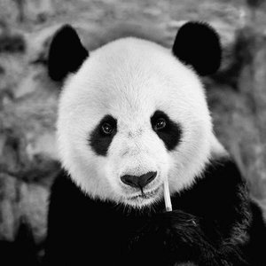 Dibond schilderij 74x74cm Panda kop