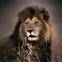 Glasschilderij 100x100cm Leeuw 1