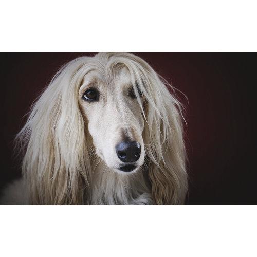 Glasschilderij Hond grappig 118x70cm