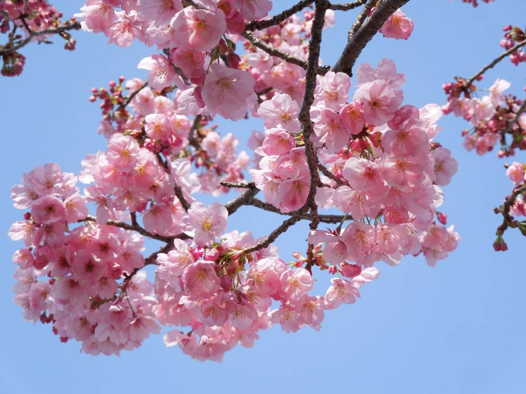 What Is The Hanami Festival?