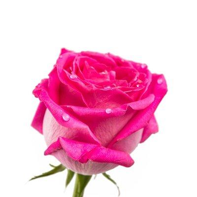 Süße Rose aufguss basis