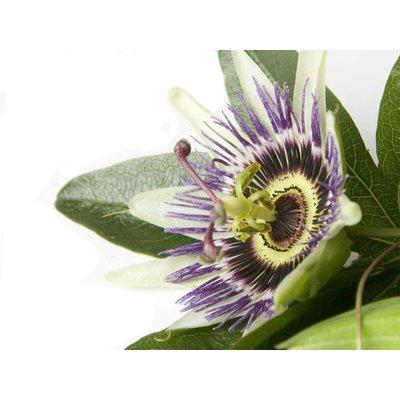 Passionflower perfume
