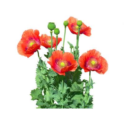 Opium air
