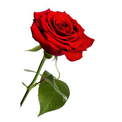 Lotion corporelle à la rose