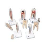 3B Klassieke reeks tandmodellen
