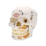 3B Klassieke schedel Deluxe