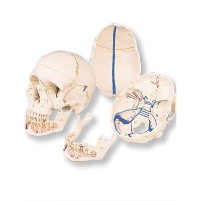 3B Klassieke schedel