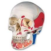 Klassieke schedel beschilderd