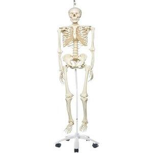 3B Skelet Stan