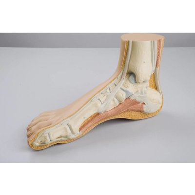 3B Normale voet