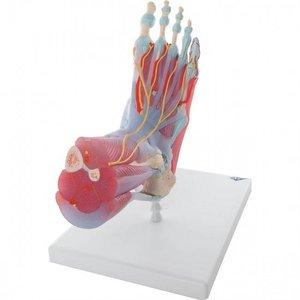 3B Voet- en enkelskelet met ligamenten en spieren