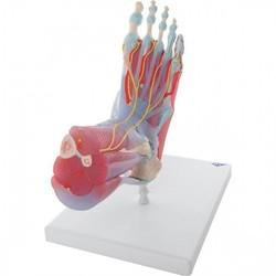Demonstratiemodellen voet