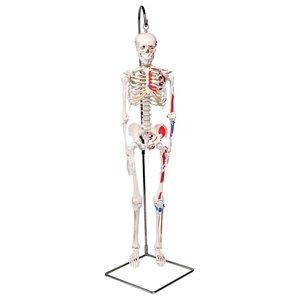 3B Mini-skelet met gekleurde spieren