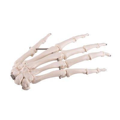 3B Handskelet