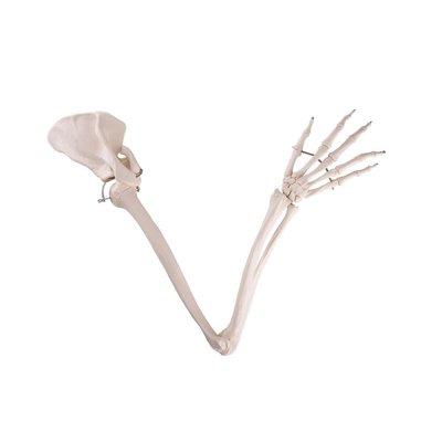 3B Armskelet met scapula en clavicula