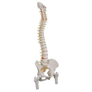 3B Flexibele wervelkolom met dijbeenkop