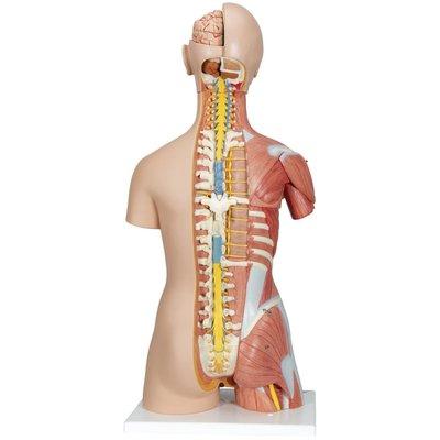 3B Deluxe Muscle torso