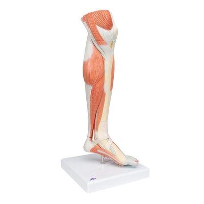 3B Onderbeen+knie+spieren